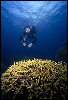 Scuba diver and coral. The Great Barrier Reef, Queensland, Australia (color)