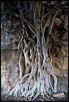 Banyan tree. Brisbane, Queensland, Australia (color)