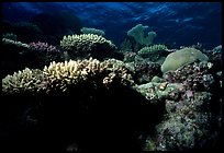 Underwater view of Coral. The Great Barrier Reef, Queensland, Australia (color)