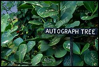 Leaves of the autograph tree. Big Island, Hawaii, USA (color)