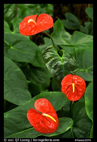 Red Anthurium Flowers. Big Island, Hawaii, USA (color)