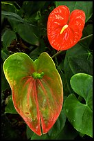 Anthurium Flowers. Big Island, Hawaii, USA
