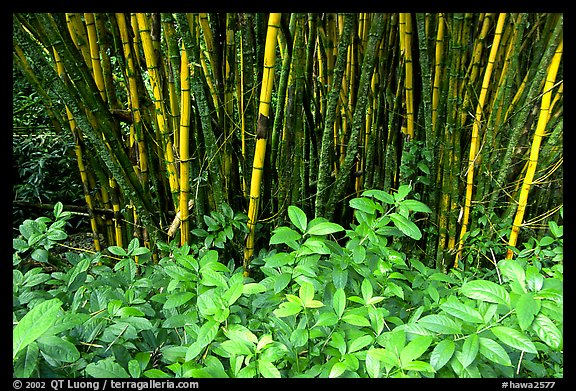 Bamboo grove. Akaka Falls State Park, Big Island, Hawaii, USA (color)