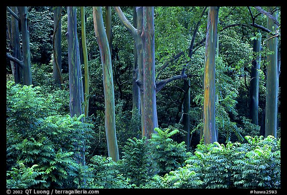 Mindanao Gum Trees (Rainbow Gum). Maui, Hawaii, USA (color)