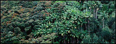 Landscape with tropical vegetation. Big Island, Hawaii, USA (Panoramic color)