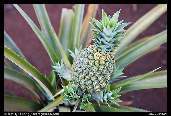 Green pinapple, Dole Planation. Oahu island, Hawaii, USA (color)