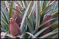 Pinapples, Dole Planation. Oahu island, Hawaii, USA (color)