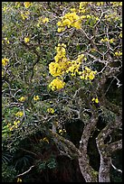 Tree with yellow blooms. Oahu island, Hawaii, USA