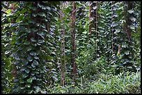 Tropical vegetation near the Pali Lookout. Oahu island, Hawaii, USA ( color)