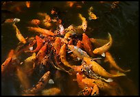 Carp fish, Byodo-In temple. Oahu island, Hawaii, USA (color)