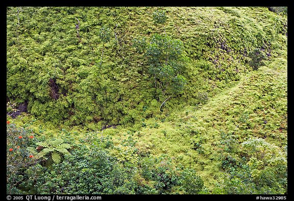 Tropical Ferns seen from above. Oahu island, Hawaii, USA (color)