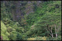 Luxuriant vegetation below cliff, Koolau Mountains. Oahu island, Hawaii, USA