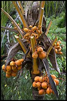 Golden coconut fruits. Oahu island, Hawaii, USA
