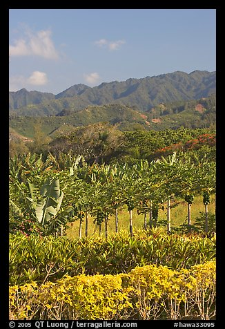 Fruit trees, hills, and mountains, Laie, afternoon. Oahu island, Hawaii, USA (color)