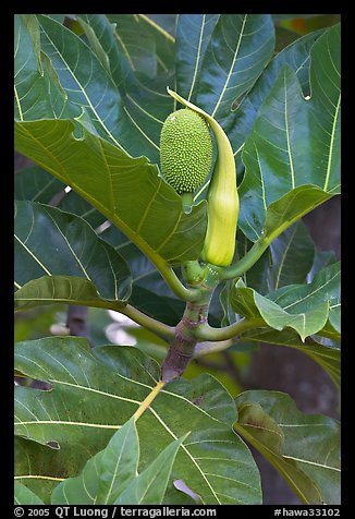 Fruit and leaves of the breadfruit tree. Oahu island, Hawaii, USA (color)