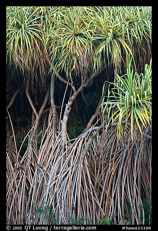 Pandanus trees (Hawaiian Hala). Oahu island, Hawaii, USA (color)