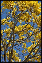 Yellow trumpet tree (Tabebuia aurea)  branches. Kauai island, Hawaii, USA