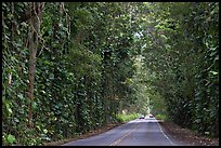 Road through  tree tunnel of mahogany trees. Kauai island, Hawaii, USA ( color)