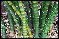 Bamboo, National Botanical Garden Visitor Center. Kauai island, Hawaii, USA (color)
