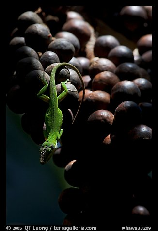 Lizard on fruit of tropical tree. Kauai island, Hawaii, USA (color)