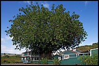 Banyan tree and house, Hanapepe. Kauai island, Hawaii, USA (color)