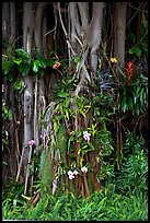 Banyan roots and tropical flowers, Hanapepe. Kauai island, Hawaii, USA (color)