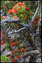 Ohia Tree with gnarled branches and red Lihua flowers, Waimea Canyon. Kauai island, Hawaii, USA (color)