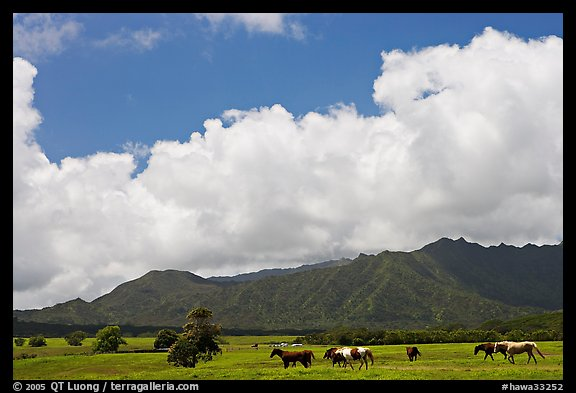 Horses in pasture near Anahola. Kauai island, Hawaii, USA (color)