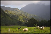 Horses and mountains near Haena. North shore, Kauai island, Hawaii, USA