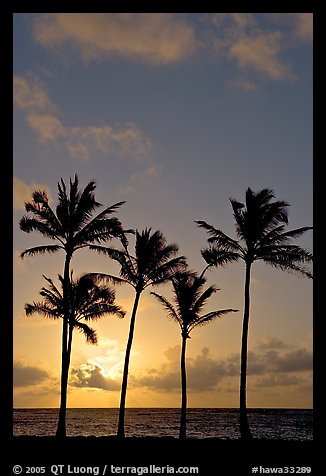 Cocunut trees, sunrise, Kapaa. Kauai island, Hawaii, USA (color)