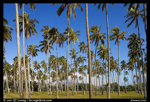 Coconut tree grove near Kapaa. Kauai island, Hawaii, USA (color)
