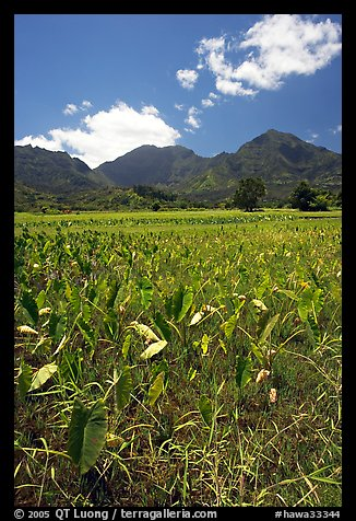 Taro plantation in  Hanalei, morning. Kauai island, Hawaii, USA (color)