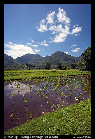 Taro field in  Hanalei, morning. Kauai island, Hawaii, USA (color)
