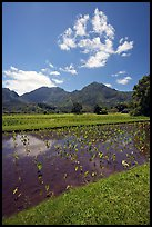 Taro field in  Hanalei, morning. Kauai island, Hawaii, USA