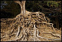 Roots of trees, Kee Beach, late afternoon. North shore, Kauai island, Hawaii, USA ( color)