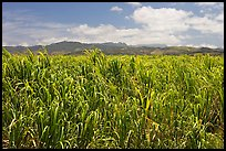 Field of sugar cane. Kauai island, Hawaii, USA ( color)