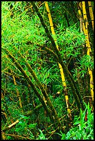 Lush grove of Bamboo. Akaka Falls State Park, Big Island, Hawaii, USA ( color)