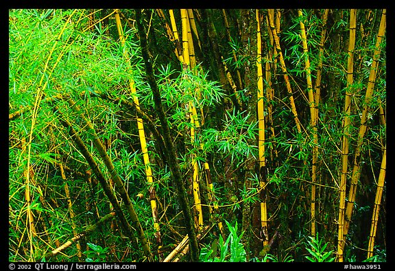 Bamboo trunks and leaves. Akaka Falls State Park, Big Island, Hawaii, USA (color)