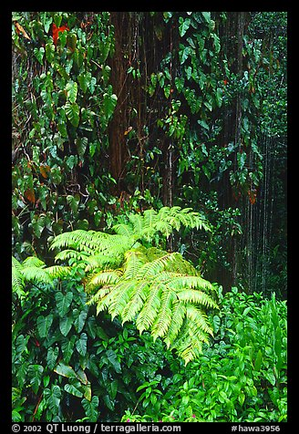 Ferns and leaves. Akaka Falls State Park, Big Island, Hawaii, USA (color)