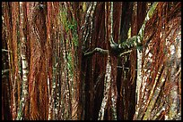 Banyan tree trunk. Akaka Falls State Park, Big Island, Hawaii, USA ( color)