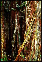 Banyan tree trunk close-up. Akaka Falls State Park, Big Island, Hawaii, USA (color)