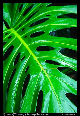 Big Tropical leaf. Akaka Falls State Park, Big Island, Hawaii, USA (color)