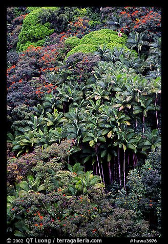 King palm trees and tropical flowers on hillside. Big Island, Hawaii, USA (color)