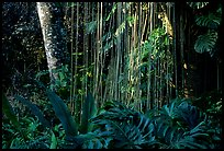 Lianas and tropical vegetation, Lava Trees State Park. Big Island, Hawaii, USA (color)