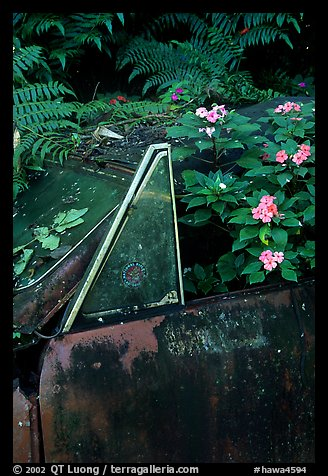 Flowers invading a wrecked truck. Maui, Hawaii, USA
