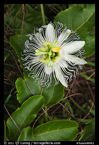 Passion fruit flower, Waipio Valley. Big Island, Hawaii, USA (color)