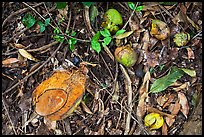 Fallen tropical fruits. Maui, Hawaii, USA (color)
