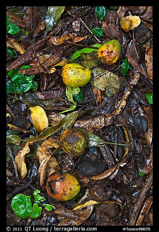 Fallen guava fruits. Maui, Hawaii, USA (color)