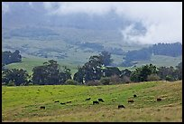 High country pastures with cows. Maui, Hawaii, USA ( color)