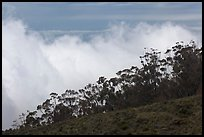 Row of trees above clouds. Maui, Hawaii, USA ( color)